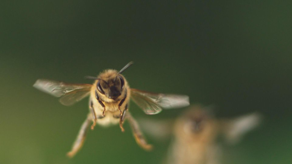 bees fly about 500h in a lifetime.jpg